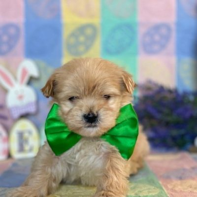 Boomer - Cotonpoo puppy for sale in Peachbottom, Pennsylvania