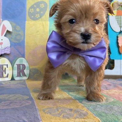Lexie - female Cotonpoo pup for sale at Peachbottom, Pennsylvania
