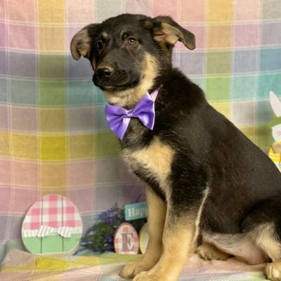 Lucy - female German Shepherd mix pupper for sale at Delta, Pennsylvania