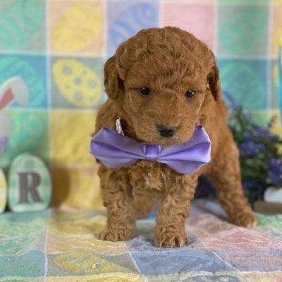 Lola - female Mini Goldendoodle doggie for sale at Rising Sun, Maryland