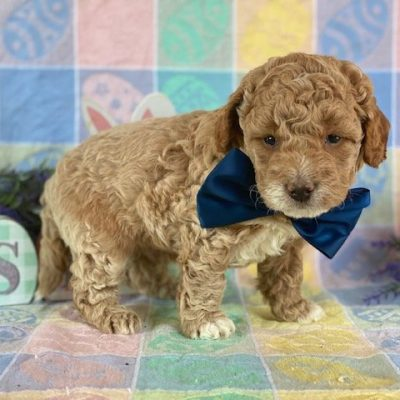 Parker - Mini Goldendoodle male puppy for sale near Rising Sun, Maryland