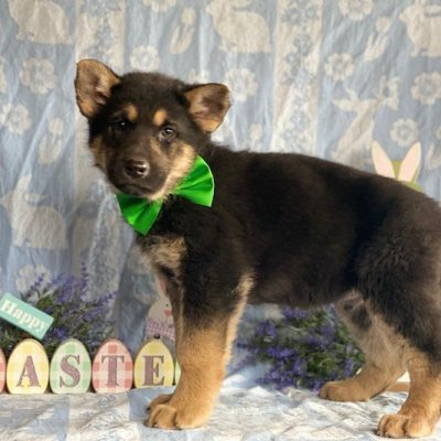 Duke - male German Shepherd pupper for sale at Airville, Pennsylvania