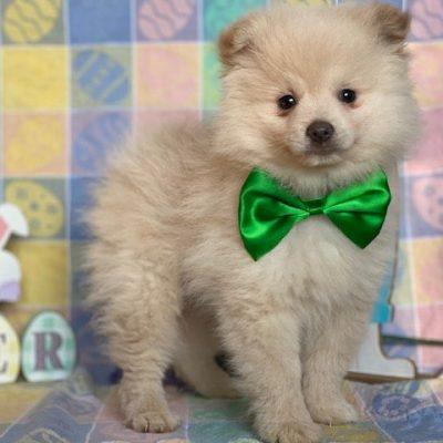 Cosmo - Pomeranian pupper for sale in Landenberg, Pennsylvania