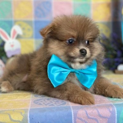 Niles - puppy Pomeranian for sale at Landenberg, Pennsylvania