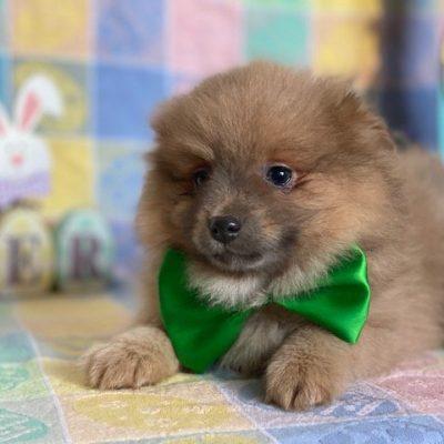 Doodle - Pomeranian doggie for sale in Landenberg, Pennsylvania