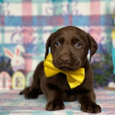 Harvey - Labrador Retriever puppie for sale at Delta, Pennsylvania