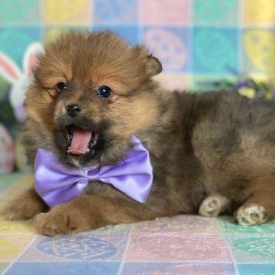 Twinkie - Pomeranian puppie for sale near Landenberg, Pennsylvania