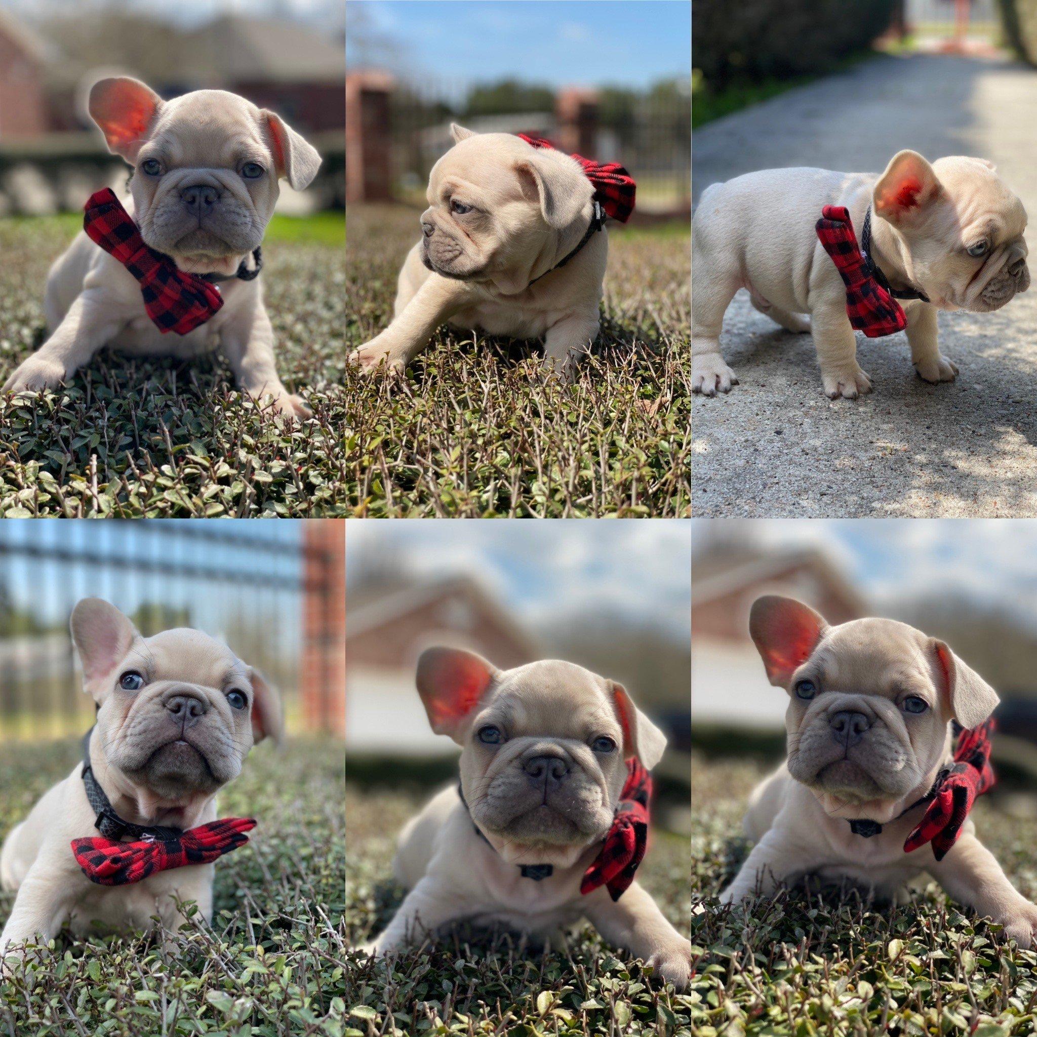 Dior - doggie AKC French Bulldog for sale at Houston, Texas