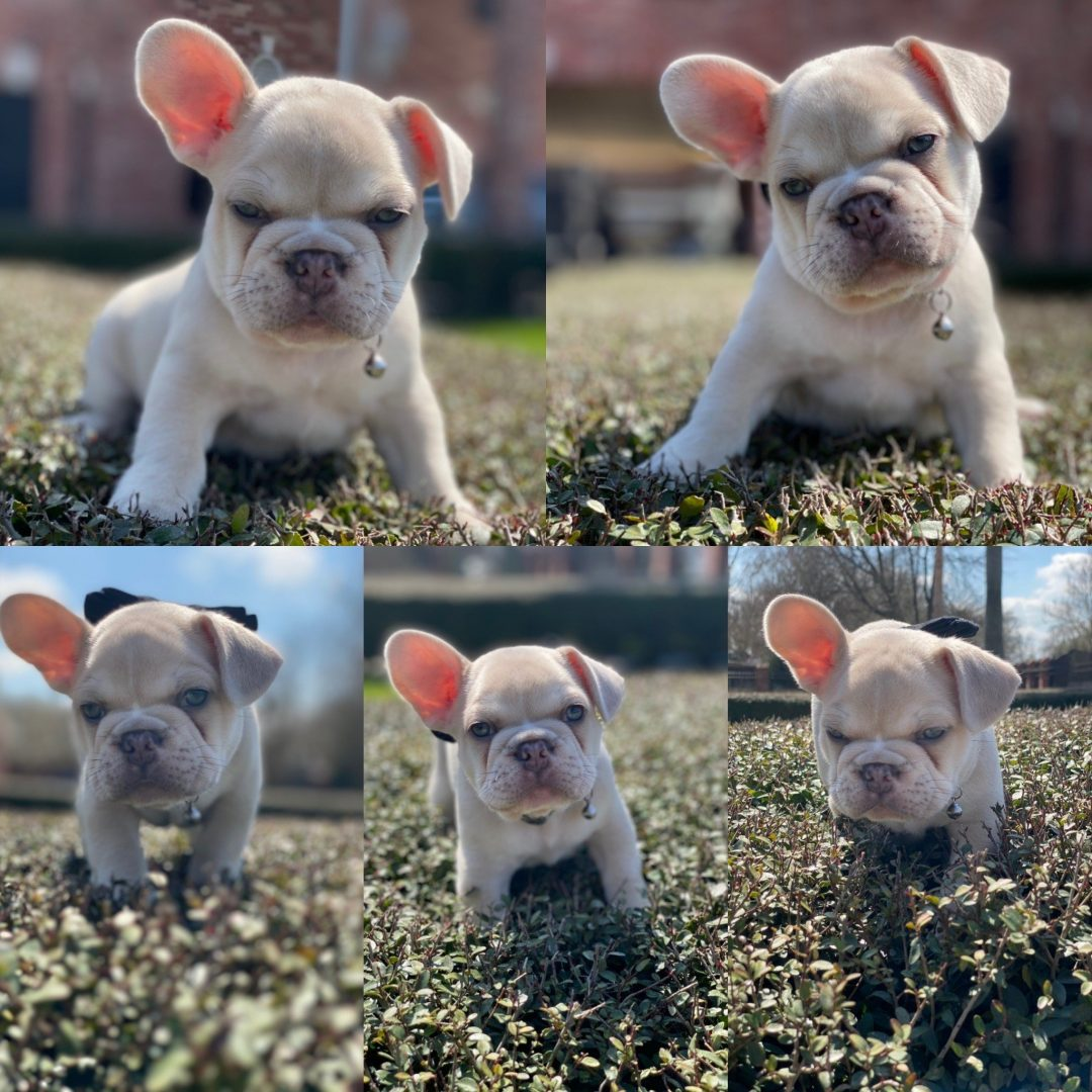 Kanye - French Bulldog puppy for sale in Houston, Texas