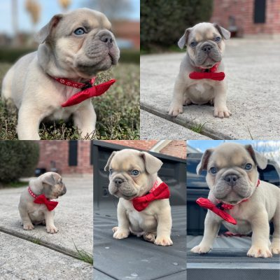Pablo - AKC French Bulldog pupper for sale in Houston, Texas
