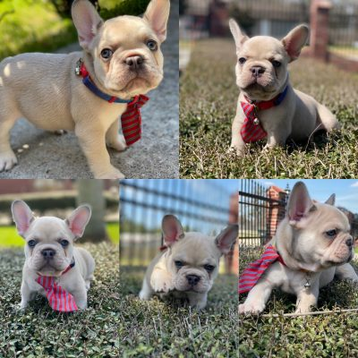 Polo - pupper AKC French Bulldog for sale near Houston, Texas
