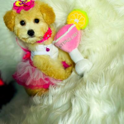 LadyCosmo - female pup Maltipoo for sale near Houston, Texas