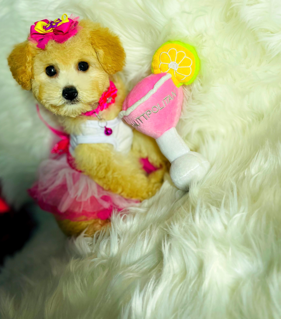 LadyCosmo - female Maltipoo puppy for sale in Hudson, Texas