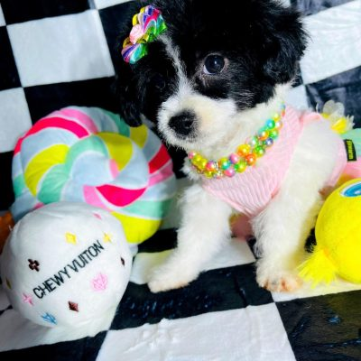 LadyPanda - Maltipoo female pup for sale near Hudson, Texas