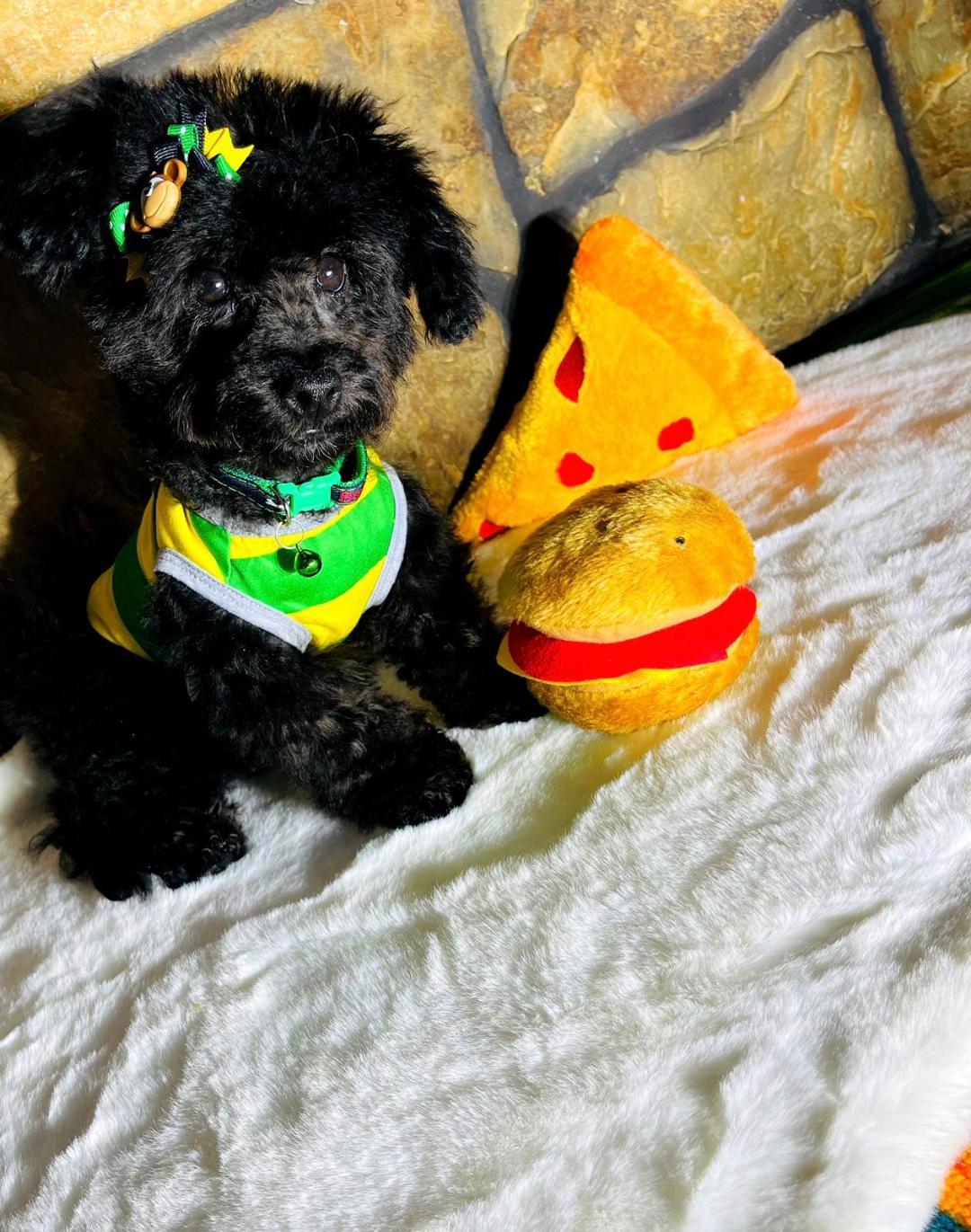 LuckyBear - CKC Maltipoo male puppy for sale in Hudson, Texas