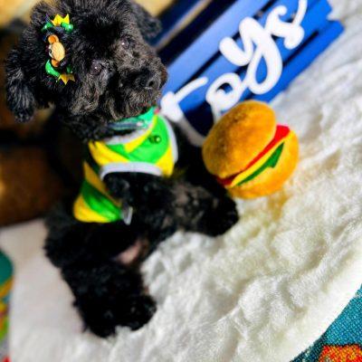 LuckyBear - doggie Maltipoo male for sale at Hudson, Texas