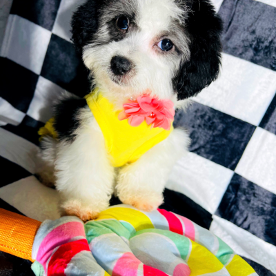 PandaDoll - pupper Maltipoo female for sale in Hudson, Texas