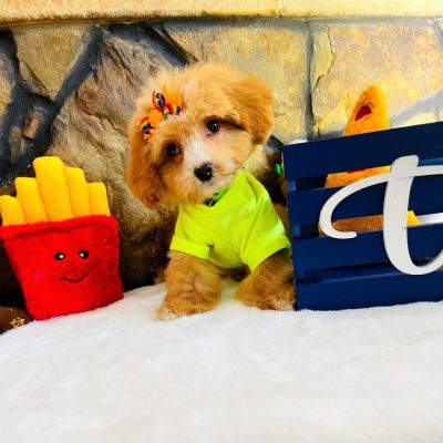 ToyBear, Adorable Ginger Apricot Teddy Bear Face Male Maltipoo Puppy