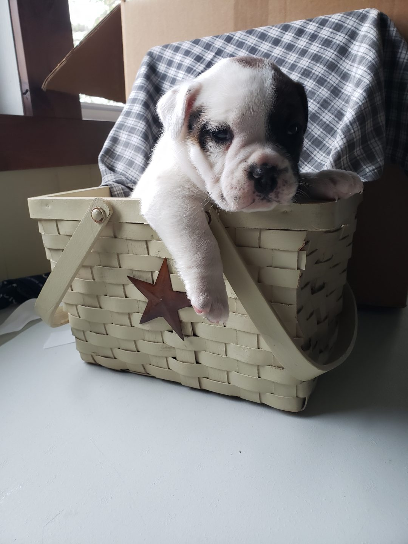 Griz - English Bulldog male puppy for sale near Nappanee, Indiana