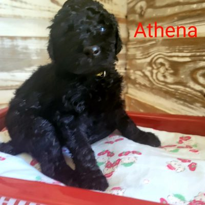 Athena - CKC Standard Poodle female puppy for sale at Alton, Missouri