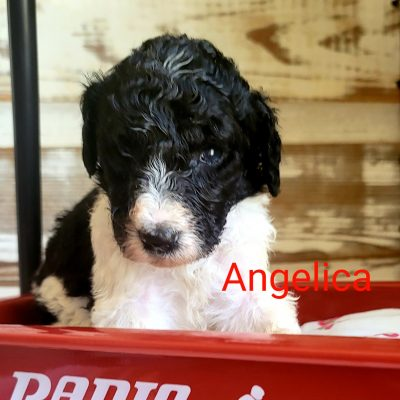 Angelica - CKC Standard Poodle puppy for sale near Alton, Missouri