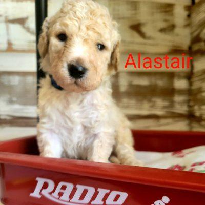 Alastair - CKC Standard Poodle male puppie for sale in Alton, Missouri