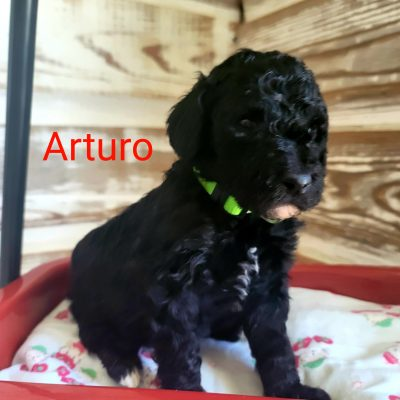 Arturo - male CKC Standard Poodle doggie for sale at Alton, Missouri