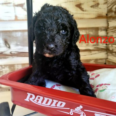 Alonzo - CKC Standard Poodle Male pup for sale in Alton, Missouri