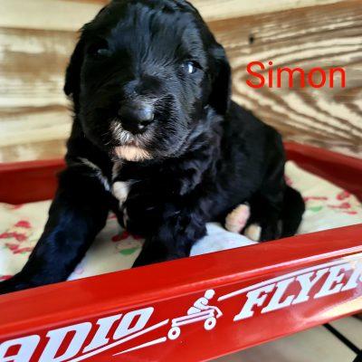 Simon - CKC Bernedoodle male pup for sale at Alton, Missouri