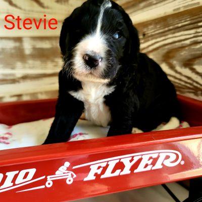 Stevie - CKC Bernedoodle male pupper for sale near Alton, Missouri
