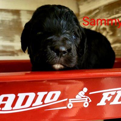 Sammy - CKC Bernedoodle puppy for sale in Alton, Missouri