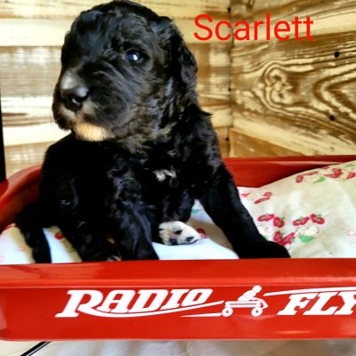 Scarlett - pup CKC Bernedoodle female for sale at Alton, Missouri