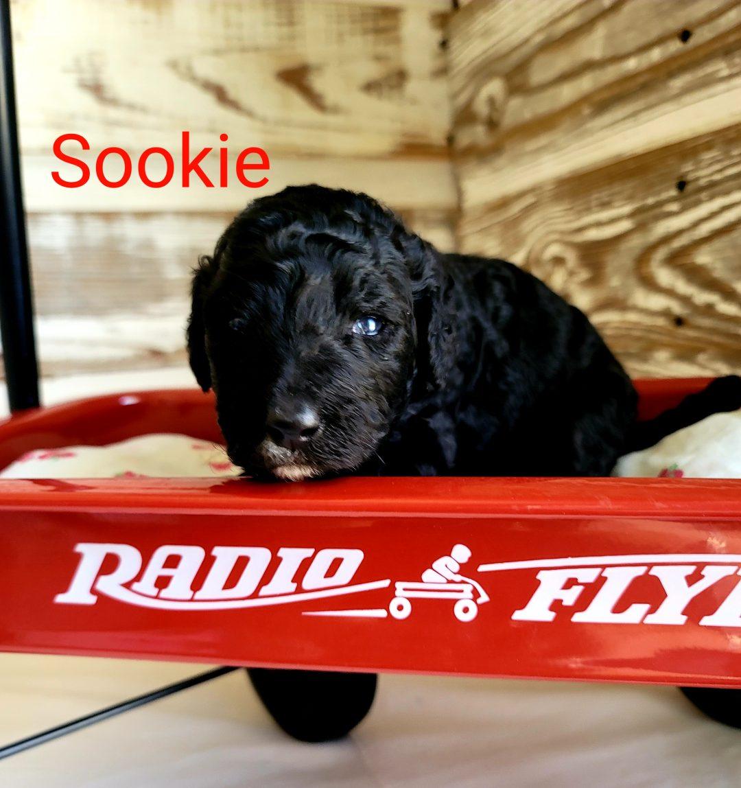 Sookie - CKC Bernedoodle female puppie for sale near Alton, Missouri