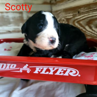 Scotty - male CKC Bernedoodle doggie for sale in Alton, Missouri