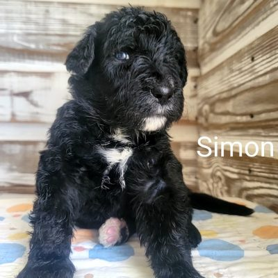Simon - CKC Bernedoodle male pup for sale at Alton, Missouri