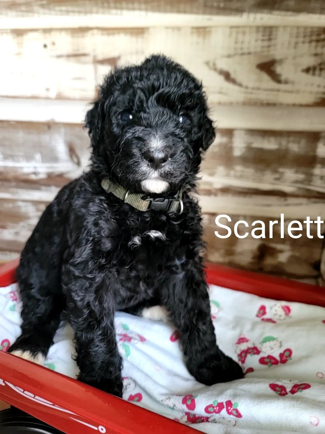 Scarlett - pup CKC Bernedoodle female for sale at Alton, Missouri