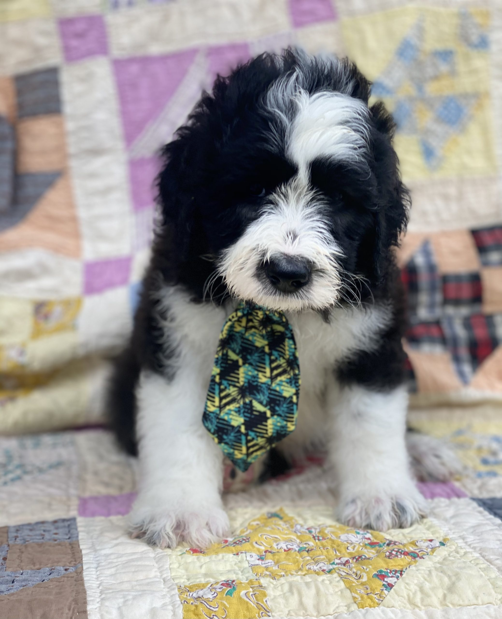 Lucky - Sheepadoodle male puppie for sale at Belleville, Arkansas
