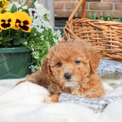 Skyla - F1 Bichpoo female pup for sale in Mercersburg, Pennsylvania