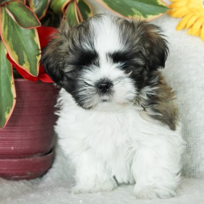 Peter - Shichon male pup for sale