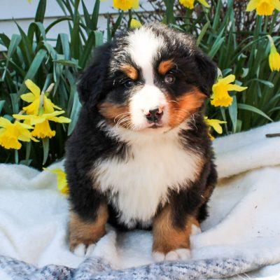 Bradley - AKC Bernese Mountain Dog puppie for sale in Mercersburg, Pennsylvania
