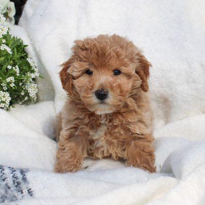 Starla - F1 Bichpoo female puppie for sale near Mercersburg, Pennsylvania
