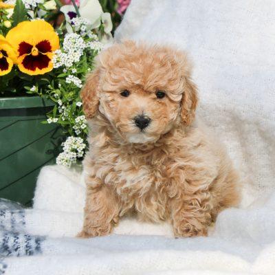 Sugar - F1 Bichpoo doggie for sale in Mercersburg, Pennsylvania