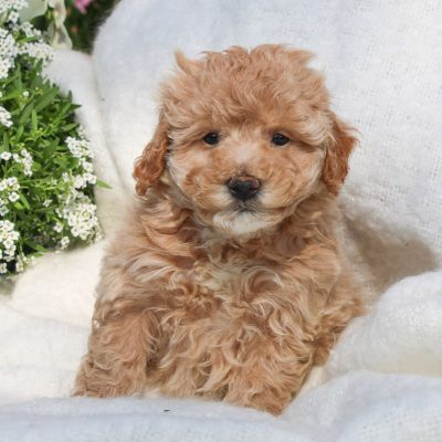 Silas - pup F1 Bichpoo for sale at Mercersburg, Pennsylvania