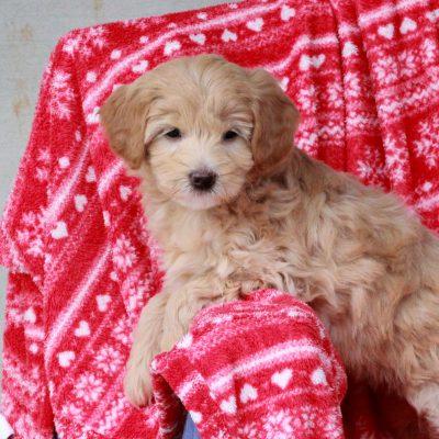 Abby - F1b Mini Labradoodle pup for sale near Mercersburg, Pennsylvania