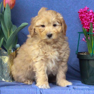 Able - F1b Mini Labradoodle doggie for sale near Mercersburg, Pennsylvania