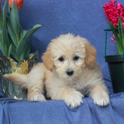 Aiden - F1b Mini Labradoodle puppy for sale in Mercersburg, Pennsylvania