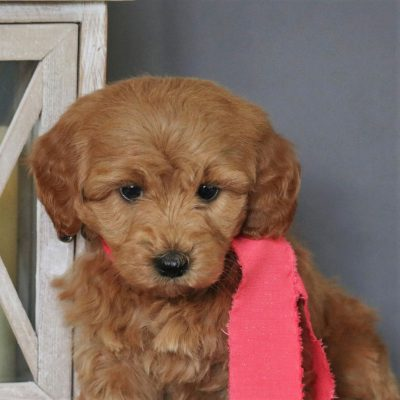 Alexa - F1bb Micro Goldendoodle female puppy for sale at Newmanstown, Pennsylvania