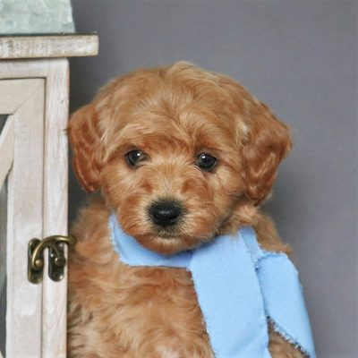 Allen - F1bb Micro Goldendoodle male puppy for sale at Newmanstown, Pennsylvania