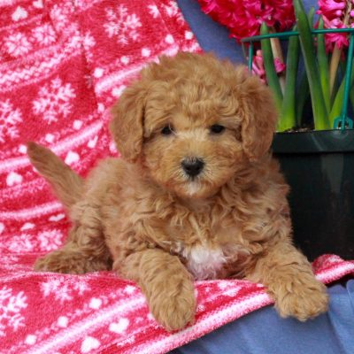 Ally - F1b Mini Labradoodle pup for sale at Mercersburg, Pennsylvania