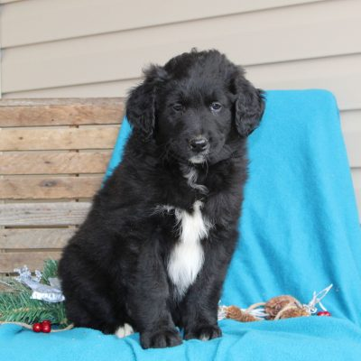 Anthony - Aussie/Goldendoodle male pupper for sale near Holtwood, Pennsylvania